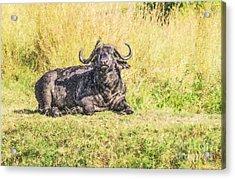 Cape Buffalo Syncerus Caffer With Oxpecker Acrylic Print