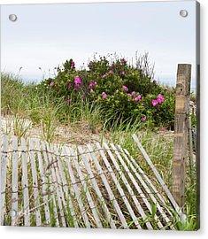 Cape Cod Beach Roses Acrylic Print