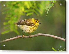 Cape May Warbler (dendroica Tigrina Acrylic Print
