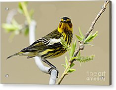 Cape May Warbler Acrylic Print by Larry Ricker
