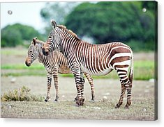 Cape Mountain Zebra And Foal Acrylic Print by Peter Chadwick