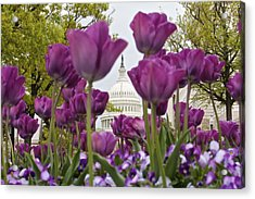 Capitol With Tulips Acrylic Print