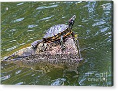 Acrylic Print featuring the photograph Captain Turtle by Kate Brown