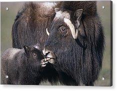 Captive Adult Female Musk Ox With Calf Acrylic Print by Doug Lindstrand