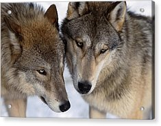 Captive Close Up Wolves Interacting Acrylic Print by Steven Kazlowski