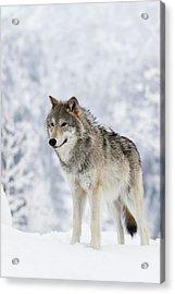 Captive  Female Tundra Wolf In Snow Acrylic Print