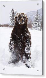 Captive Grizzly Stands On Hind Feet Acrylic Print by Doug Lindstrand