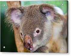 Captive Koala Bear Acrylic Print by Ashley Cooper