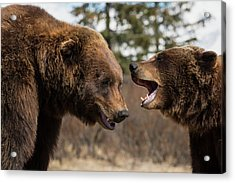 Captive  Male And Female Brown Bears Acrylic Print by Doug Lindstrand