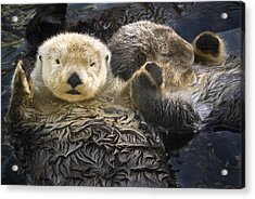 Captive Two Sea Otters Holding Paws At Acrylic Print