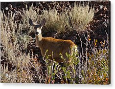 Capulon Doe Acrylic Print by Charles Warren