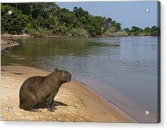 Capybara Pantanal Mato Grosso Brazil Acrylic Print by Pete Oxford