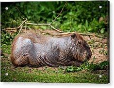 Capybara With Skin Condition Acrylic Print