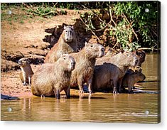 Capybaras Acrylic Print