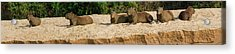 Capybaras Resting On Sand, Rio Negro Acrylic Print by Panoramic Images