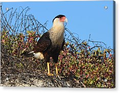 Acrylic Print featuring the photograph Caracara In The Dunes by Debra Martz