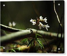 Cardamine Concatenata Cutleaf Toothwort Acrylic Print by Rebecca Sherman