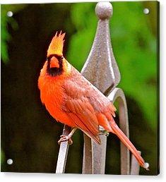 Cardinal 108 Acrylic Print by Patsy Pratt
