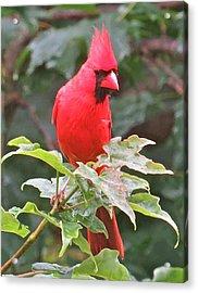 Cardinal 112 Acrylic Print by Patsy Pratt