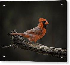 Cardinal 2011-1 Acrylic Print