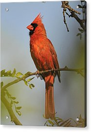 Cardinal 329 Acrylic Print