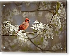 Cardinal And Blossoms Acrylic Print