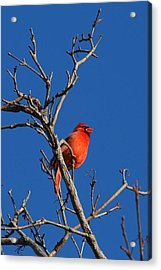 Cardinal And Blue Acrylic Print by Janice Adomeit