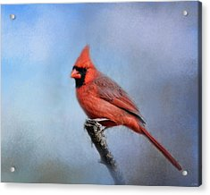 Cardinal At First Frost Acrylic Print