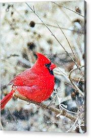 Cardinal Bird Christmas Card Acrylic Print by Peggy Franz