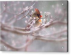 Cardinal - Bird - Lady In The Rain Acrylic Print by Travis Truelove