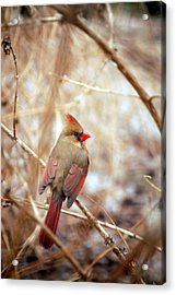 Acrylic Print featuring the photograph Cardinal Birds Female by Peggy Franz