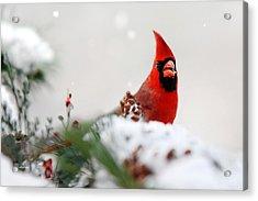 Cardinal Acrylic Print by Christina Rollo