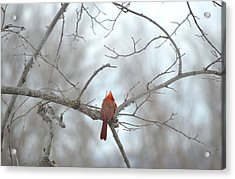 Acrylic Print featuring the photograph Cardinal Delight by Dacia Doroff