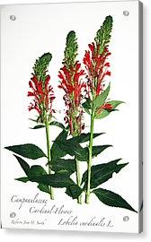 Cardinal-flower Acrylic Print