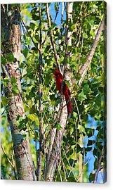 Cardinal Hidden Acrylic Print