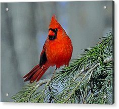 Cardinal In An Evergreen Acrylic Print