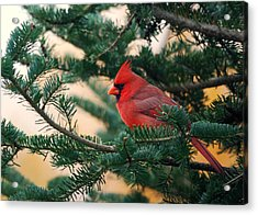 Cardinal In Balsam Acrylic Print by Susan Capuano