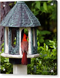 Cardinal In Bird Feeder Acrylic Print by Debra Crank