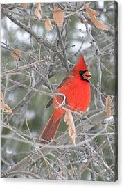 Cardinal In December Acrylic Print