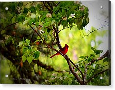 Cardinal In Dogwood Acrylic Print by Tara Potts
