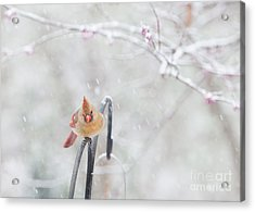 Cardinal In Snow Acrylic Print by Kay Pickens
