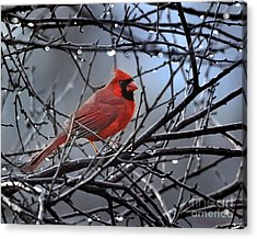 Cardinal In The Rain   Acrylic Print