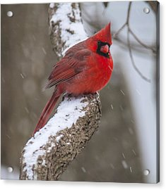 Cardinal In The Snow Acrylic Print
