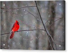 Cardinal In The Snow Acrylic Print by Karol Livote