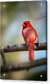 Cardinal In The Sun Of Spring Acrylic Print