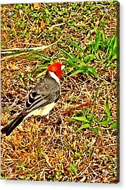 Cardinal In Thought Acrylic Print by Tiffany Baltrus