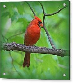 Cardinal In Tree Acrylic Print by Sandy Keeton
