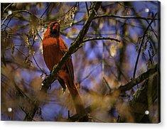 Cardinal In Waiting Acrylic Print by Barry Jones