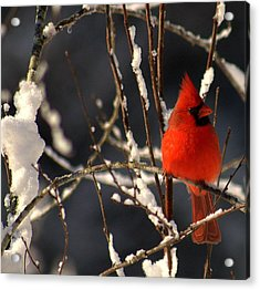 Acrylic Print featuring the photograph Cardinal In Winter 2 by John Harding