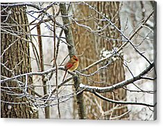 Cardinal In Winter Acrylic Print by Aimee L Maher Photography and Art Visit ALMGallerydotcom